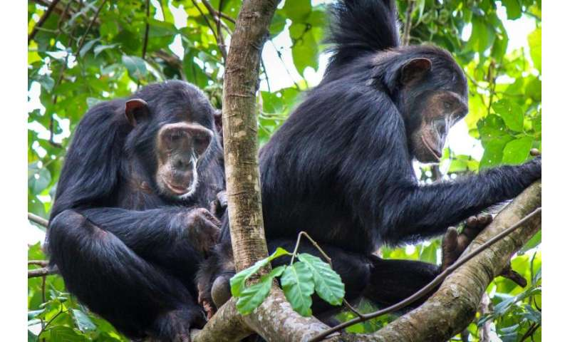 Lowly 'new girl' chimps form stronger female bonds