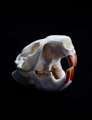 Making teeth tough: Beavers show way to improve our enamel