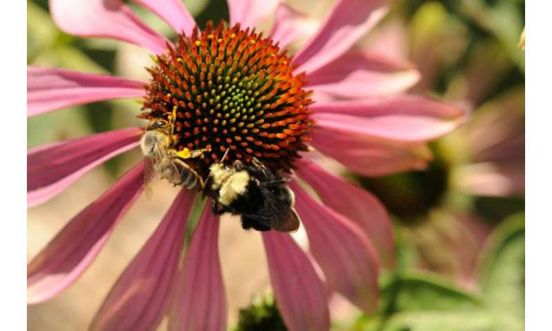 Managed bees spread and intensify diseases in wild bees