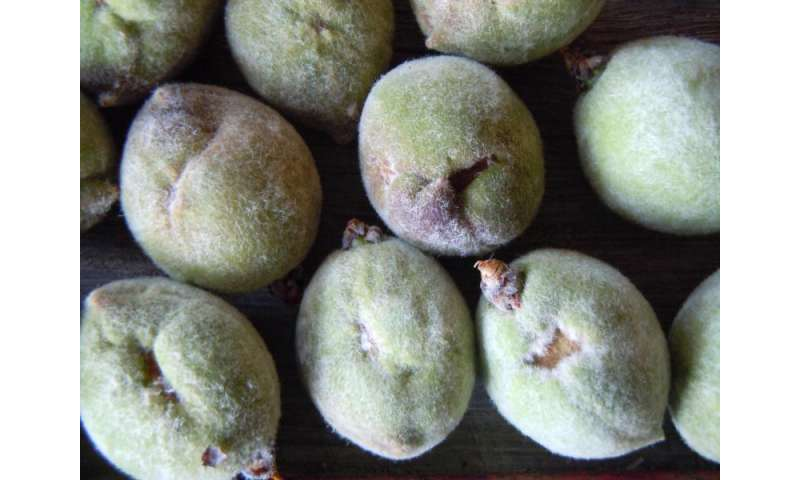 Management strategies to reduce catfacing in peaches