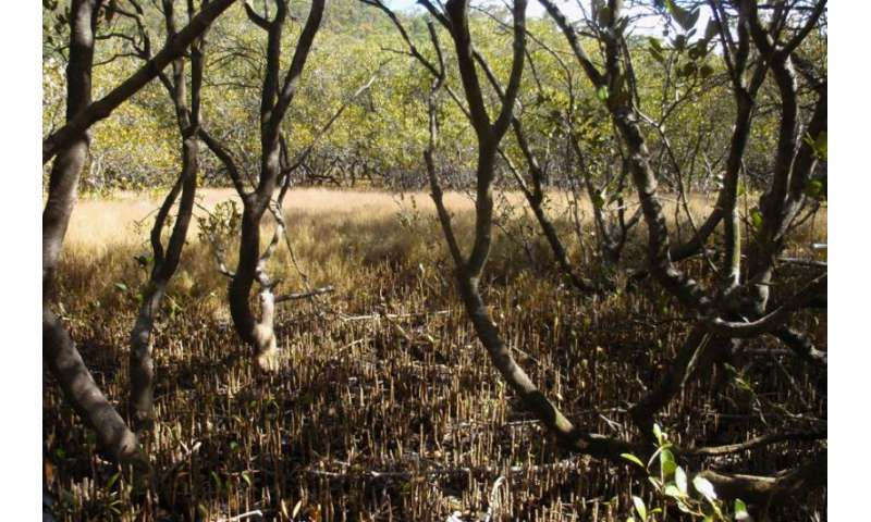 March of the mangroves good news for blue carbon storage