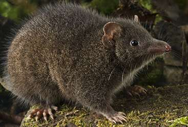 Marsupial mating habits to die for