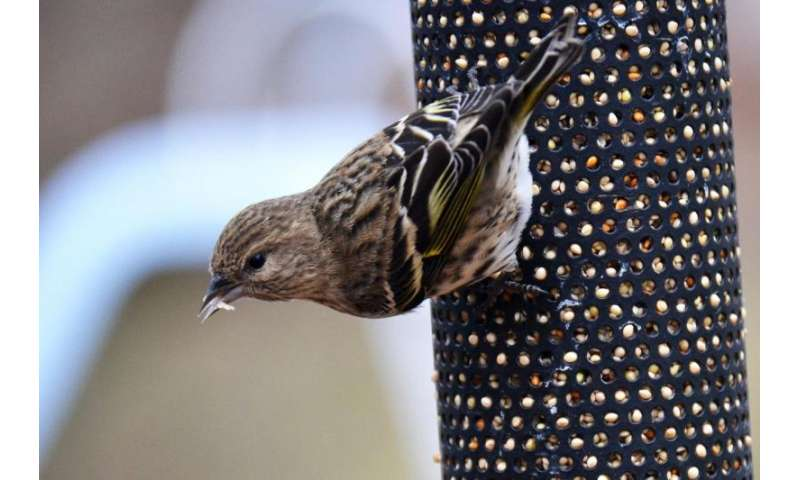 Massive southern invasions by northern birds linked to climate shifts