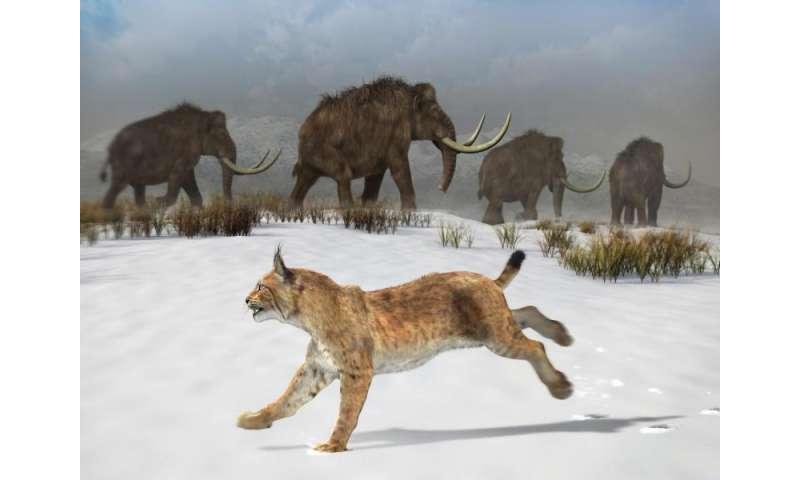 Meet the first Iberian lynx on the Iberian Peninsula