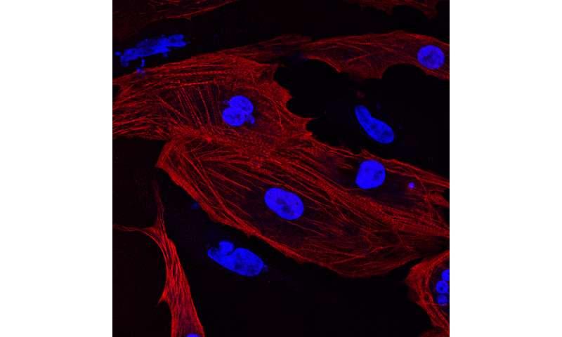 Mice research boosts muscle repair capabilities