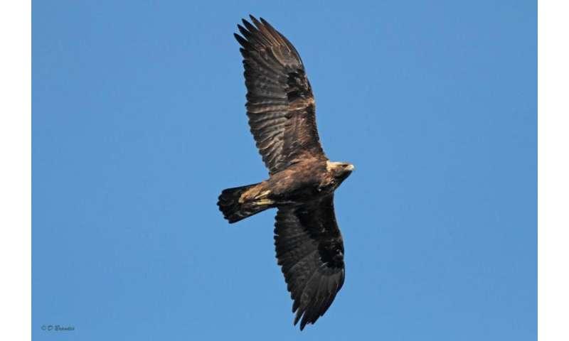 Migratory patterns of eastern Golden Eagle population revealed