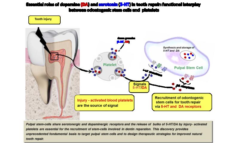 Natural reparative capacity of teeth elucidated