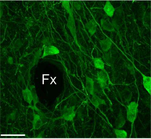 New deep-brain imaging reveals separate functions for nearly identical neurons