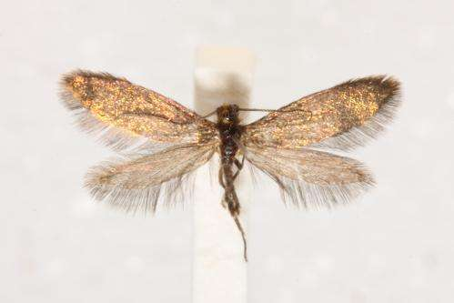 New 'enigma' moth helps crack evolution's code