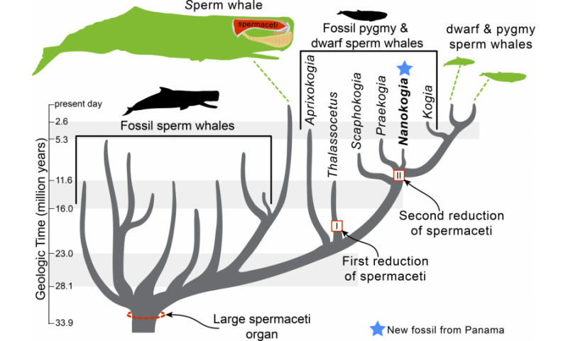 New fossil rattles Moby Dick's family tree