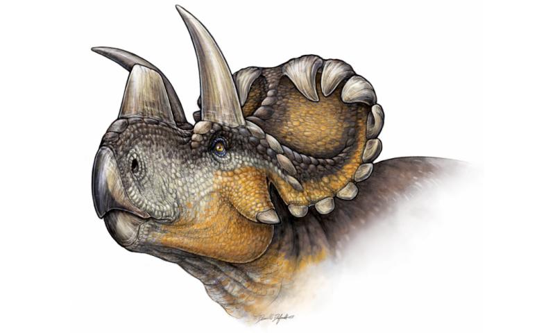 New horned dinosaur reveals evolution of nose horn in Triceratops family