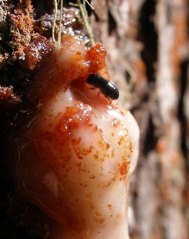 New mesoamerican pine beetle described by SRS scientist and collaborators