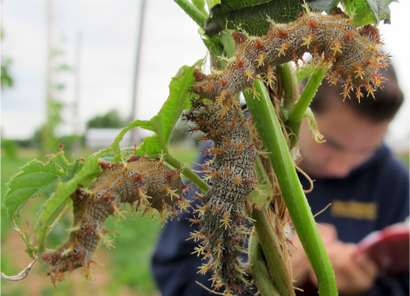 New pest management resource for hop growers in the northeast