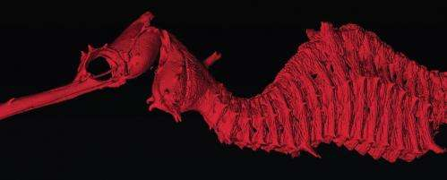New species, the 'ruby seadragon,' discovered by researchers