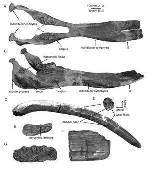 New study reveals competition and replacement between two miocene shovel-tuskers