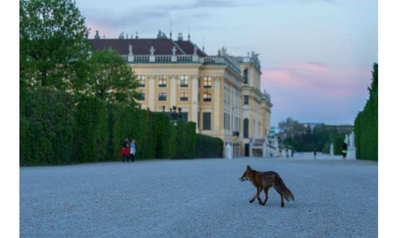Nightly human-fox encounters in West Vienna