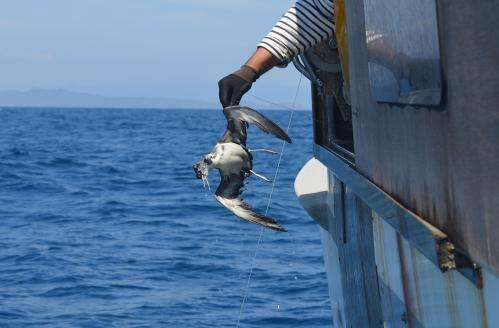 Non-hooked birds: how to avoid seabird bycatch in the Mediterranean?
