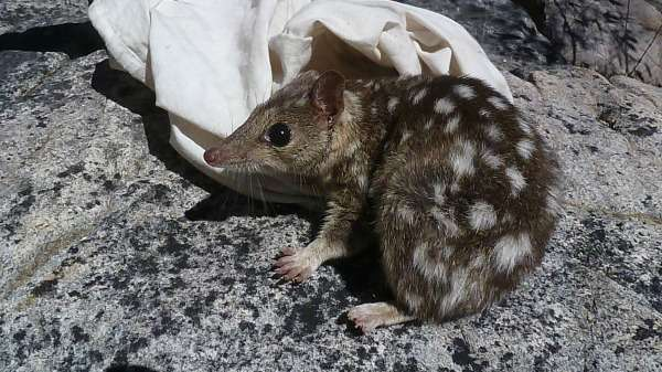 Northern quoll population pops up in arid zone