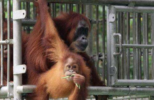 Orangutans Gober (back) and her infant Ginting upon their release to a conservation forest in Aceh on January 5, 2015.