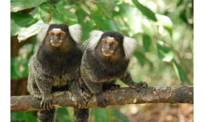 Oxytocin nose-drop brings marmoset partners closer