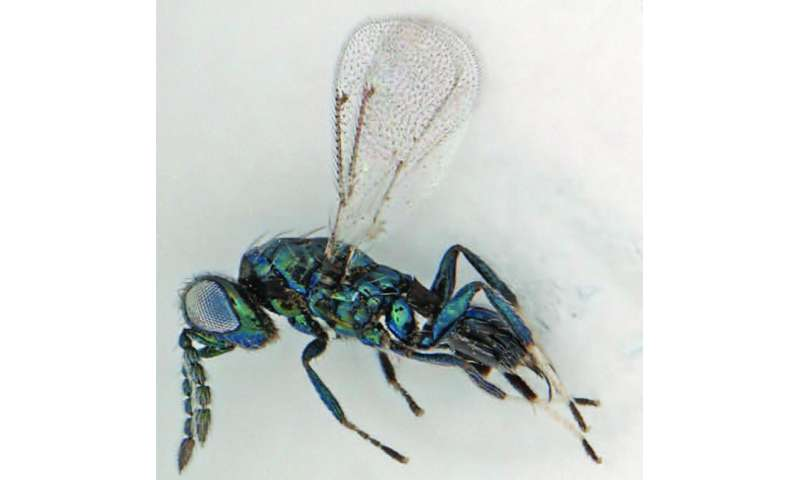 Parasite vs. invader: New endoparasitoid wasp can save the Dominican Republic economy