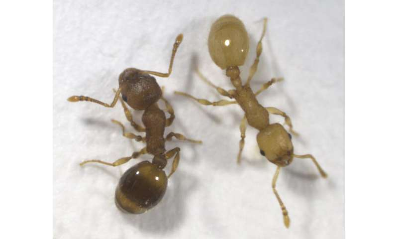 Parasitic tapeworm influences behavior and lifespan of uninfected members of ant colonies