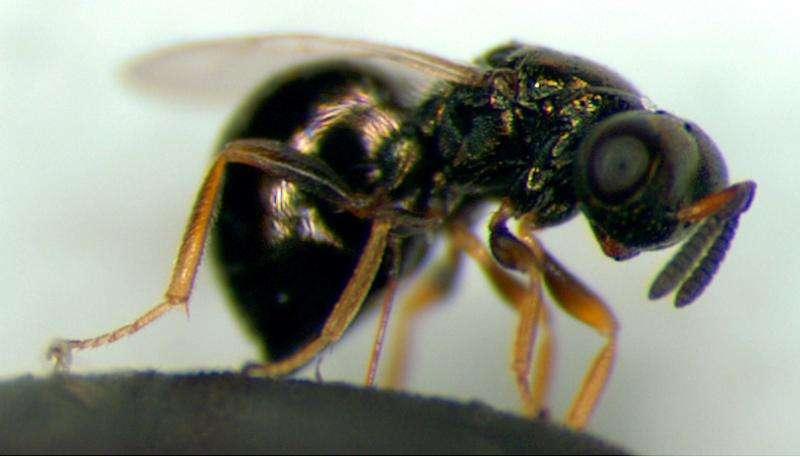 Parasitic wasp database explores the genetic world of tiny stingers