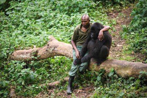 Patrick Karabaranga, a warden at the Virunga National Park, sits with an orphaned mountain gorilla in the gorilla sanctuary at t