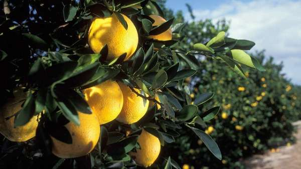 Peel research bolsters oranges' thick skin