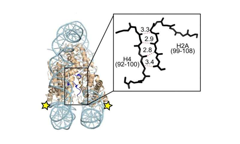 Penn team finds protein 'cement' that stabilizes the crossroad of chromosomes