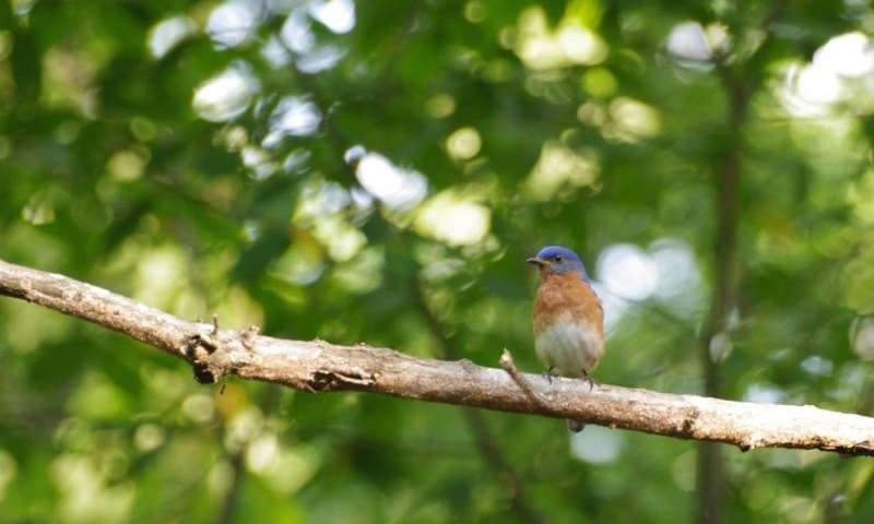 Persist and shout: Male bluebirds alter songs to be heard over increased acoustic noise