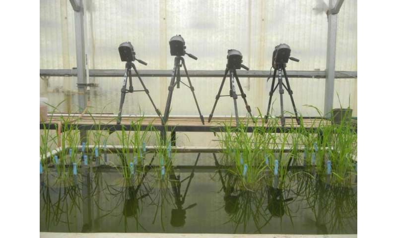 Plant doctors get to the root of plant stress in rice