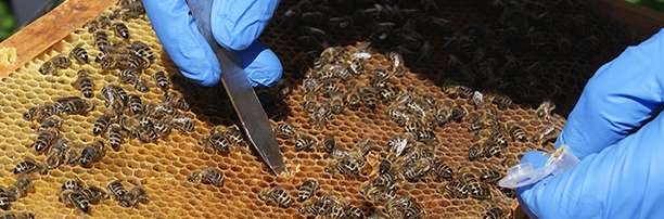 Poor diet may contribute to the decline in British bees