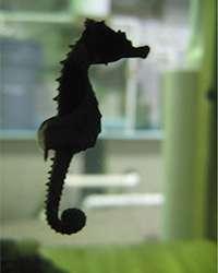 Population genomics unveil seahorse domain