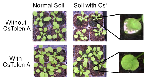 Protecting crops from radiation-contaminated soil