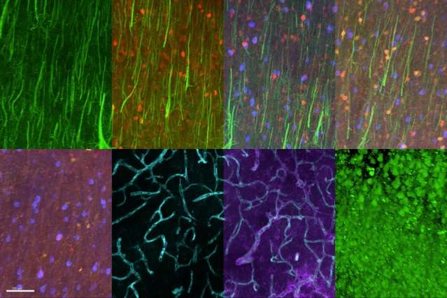 Protein imaging reveals detailed brain architecture