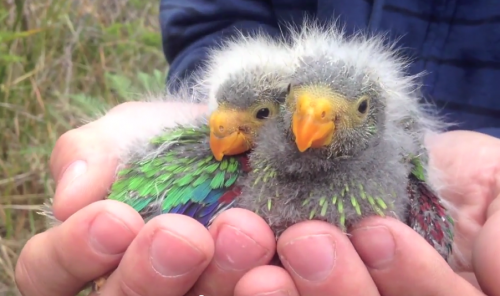 Public help needed to save Tasmanian populations of the swift parrot