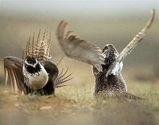 Q&A: What is a sage grouse and why is the bird imperiled?