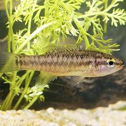 Rare south-west fish suffers further decline