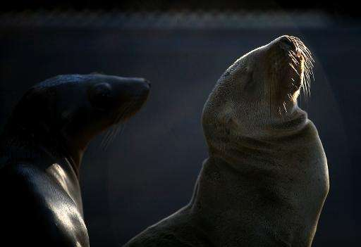 Recovering sea lion pups are seen at the Marine Mammal Center in Sausalito, California