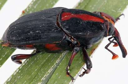 Red palm weevils can fly 50 kilometers in 24 hours