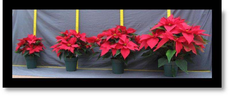 Regulating poinsettia's height