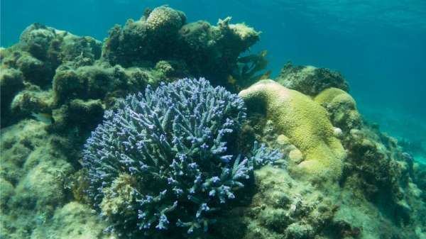 Rottnest's tropical corals found to thrive