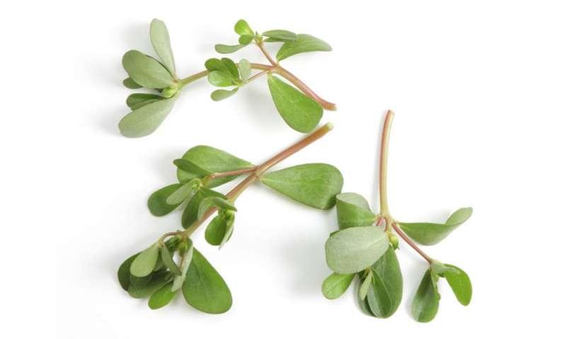 Salt-tolerant herb rich in antioxidant compounds