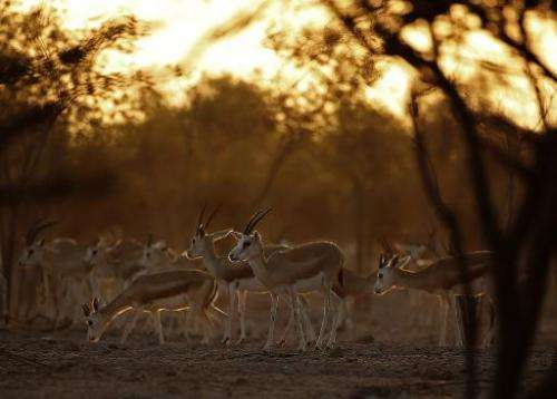 Sand Gazelles roam on Sir Bani Yas Island, one of the largest natural islands in the UAE