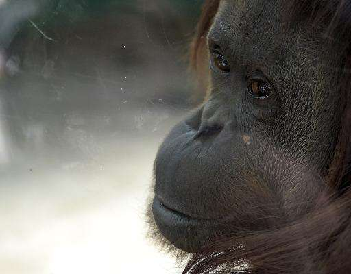 Sandra the orangutan was born at the Zoo Rostock in Germany in 1986 and was sent to Argentina in 1994