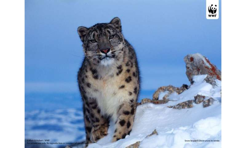 Second snow leopard successfully collared with satellite-GPS technology in Nepal