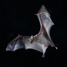 Sending bat signals: Unique 'supper's ready' alert beckons hungry bats