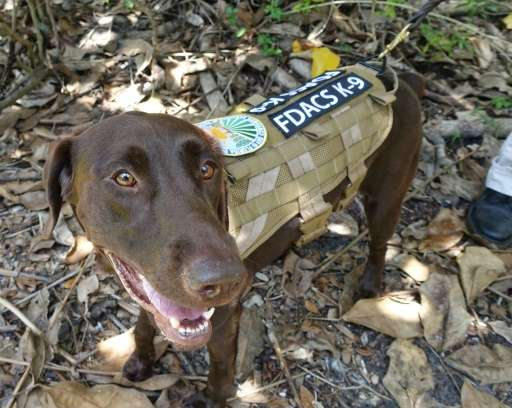 Sierra, a chocolate lab, is one of two specially trained dog detectives that help sniff out Giant African Snails in Miami, Flori