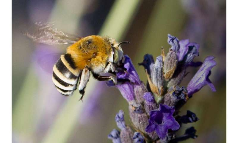 Single lady bees load up on perfume